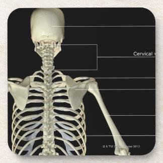 The bones of the upper body coasters