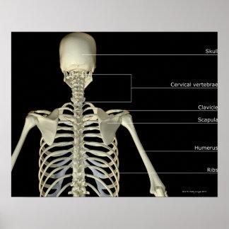 The bones of the upper body poster