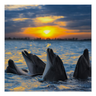The bottle-nosed dolphins in sunset light print