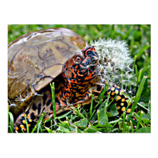 The Box Turtle & The Dandylion Postcard