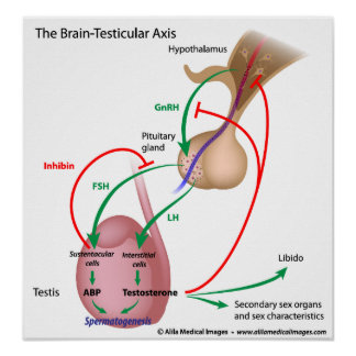 The brain testicular axis, male puberty control poster