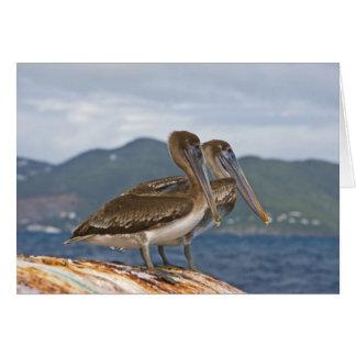 The Brown Pelican ( Pelecanus Occidentalis ) Card