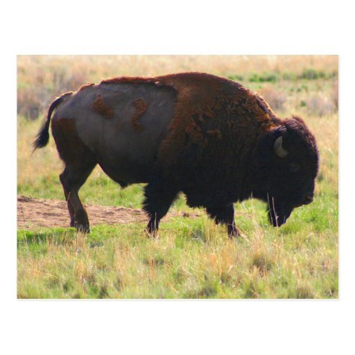The Buffalo Collection Postcard