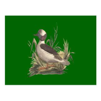 The Buffle-headed Duck(Fuligula albeola) Post Card