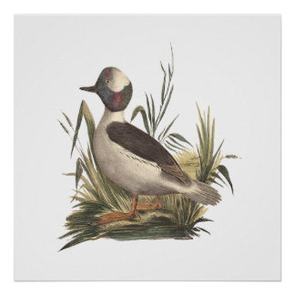 The Buffle-headed Duck(Fuligula albeola) Poster