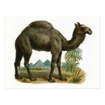"""""""The Camel"""" Vintage Animal Illustration Postcard"""