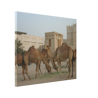 the camels of souq  waqif no1 canvas print