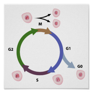 The cell cycle poster