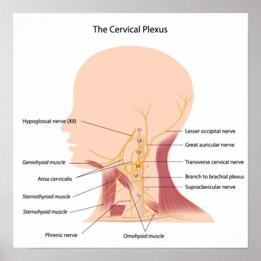 The cervical plexus Poster