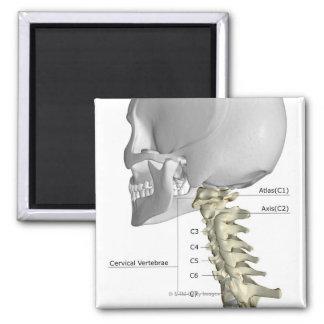The Cervical Vertebrae 3 Magnet