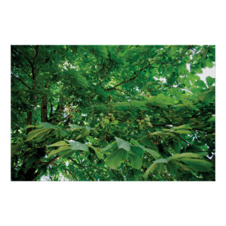 The Chestnut tree Poster