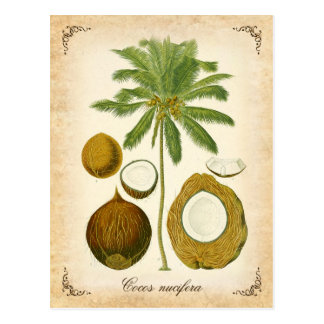 The coconut palm - vintage illustration postcard