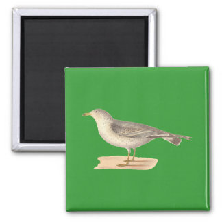 The Common American Gull	(Larus zonorhyncus) 2 Inch Square Magnet