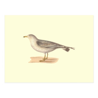 The Common American Gull(Larus zonorhyncus) Postcard