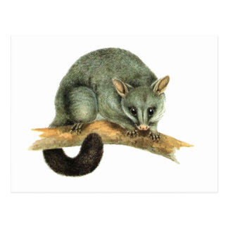 The Common Brushtailed Possum from Australia Postcard