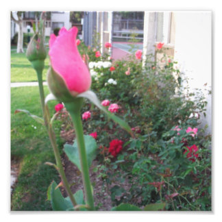 The Crowning Rose Bud Photo Print