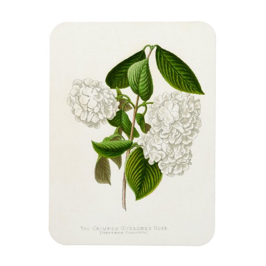 The Crumpled Gueldres Rose Magnet