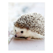 The Cute Baby Hedgehog Postcard