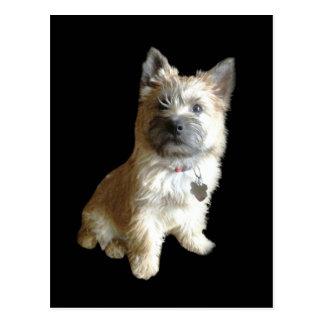 The Cutest Cairn Terrier Ever!  Cuter than Toto! Postcard
