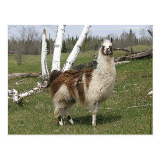 THE DAILY LLAMA POSTCARD
