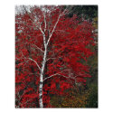 The Dancing Birch - 8x10 Photo Print