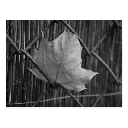 The Dry Maple Leaf - Postcard