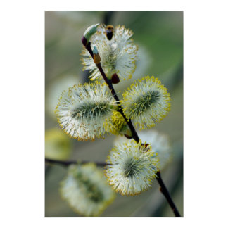 The Easter Catkins - Poster