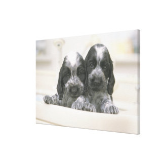 The English Cocker Spaniel is a breed of dog. It Canvas Print
