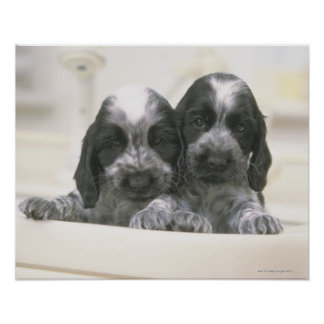 The English Cocker Spaniel is a breed of dog. It Poster