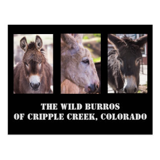 The Entertaining Wild Burros of Cripple Creek, Co. Postcard