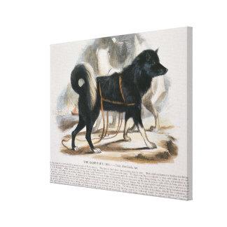 The Esquimaux Dog (Canis familiaris) educational i Canvas Print
