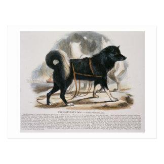 The Esquimaux Dog (Canis familiaris) educational i Postcard