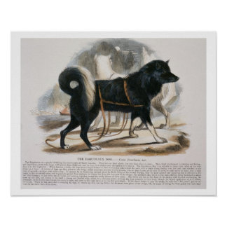 The Esquimaux Dog (Canis familiaris) educational i Poster
