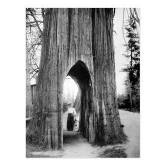The Famous Bicycle Tree of Snohomish Postcard
