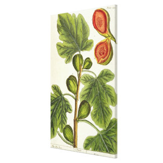 The Fig Tree, plate 125 from 'A Curious Herbal', p Canvas Print