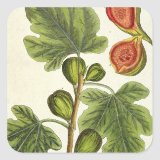 The Fig Tree, plate 125 from 'A Curious Herbal', p Square Sticker