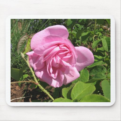THE FIRST SENIOR PROM ROSE ON MY ROSEBUSH MOUSE PAD