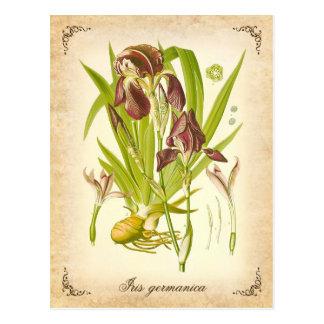 The German Iris - vintage illustration Postcard