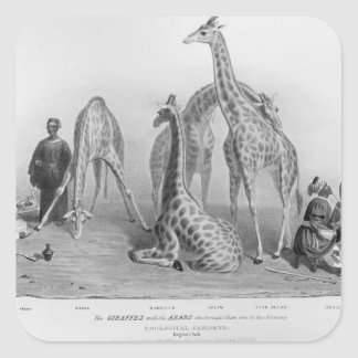 The Giraffes with the Arabs Square Sticker
