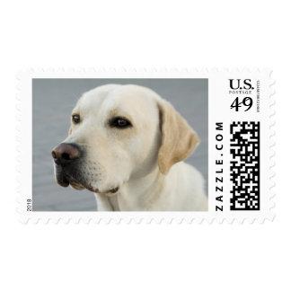 The Golden Labrador Postage Stamp
