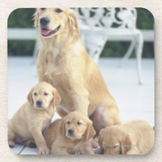 The Golden Retriever is a relatively modern and Coaster