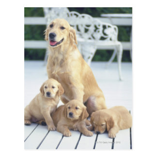 The Golden Retriever is a relatively modern and Postcard