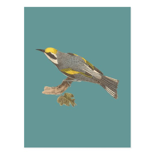 The Golden-winged Warbler	(Vermivora chrysoptera) Postcard