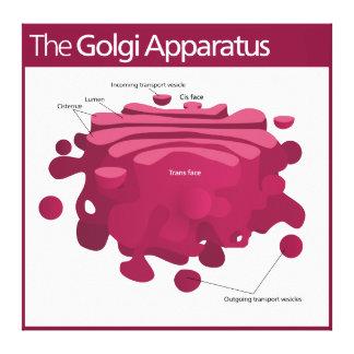 The Golgi apparatus Golgi complex Diagram Canvas Print