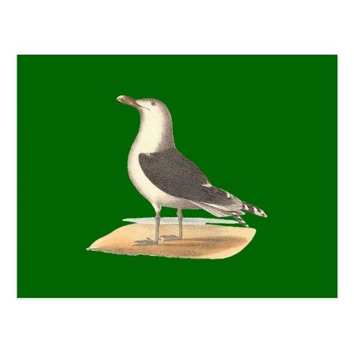 The Great Black-backed Gull(Larus marinus) Postcard