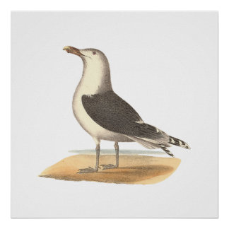 The Great Black-backed Gull(Larus marinus) Poster