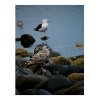 The Great Black-backed Gull Postcard