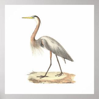 The Great Blue Heron  (Ardea herodias) Poster