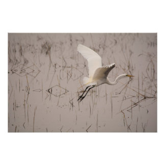 The Great Egret 36 x 24 Archival Paper  (Matte) Poster