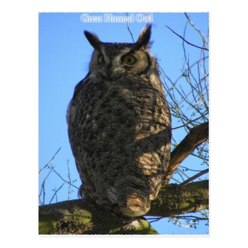 The Great Horned Owl Postcards